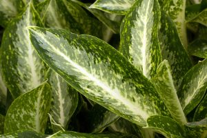 Chinese Evergreen one of the best houseplants to have