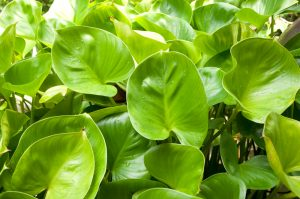 Heart Leaf Philodendron one of the best houseplants to have