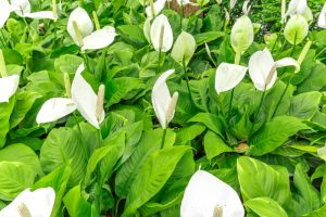 Peace Lily one of the best houseplants to have