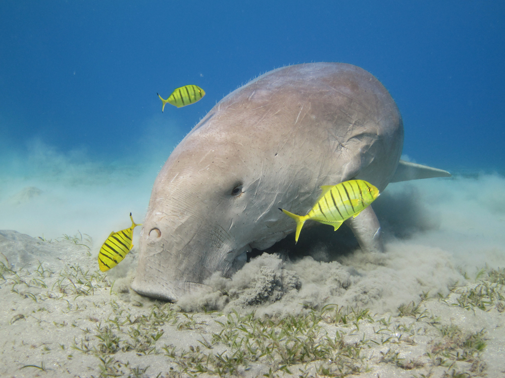 Qatar is hometothe second largest population of Dugong in the world