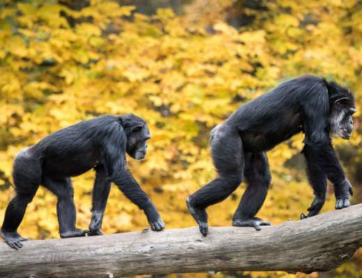 Chimpanzees Recognize Each Others Behinds