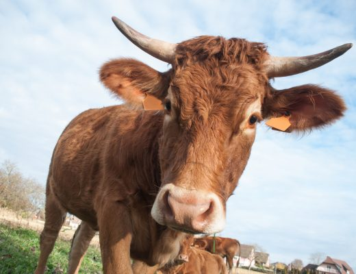 Millions of Americans believe that chocolate milk comes from brown cows