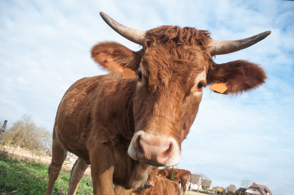 Millions Believe Chocolate Milk Comes From Brown Cows