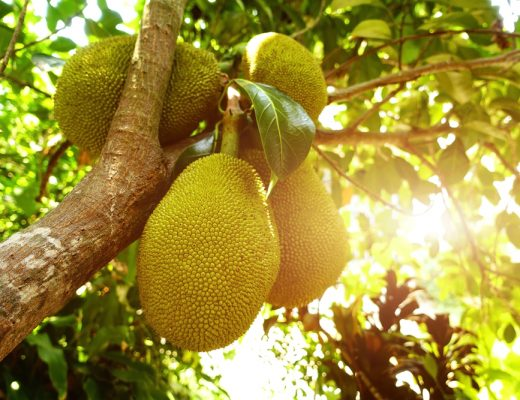 The nutrition rich jackfruit seeds could be a solution to hunger and malnutrition