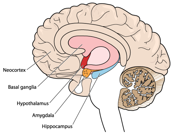 Neurons care produced in the hippocampus, the part of the brain that deals with memory, emotions and cognition.
