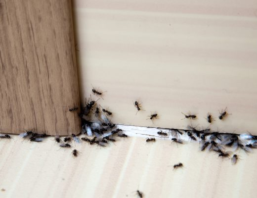 simple method to Get Rid of Ants around the house