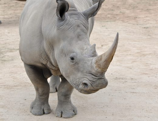 scientists are working on bringing back the northern white rhino through IVF and eggs from najin and fatu