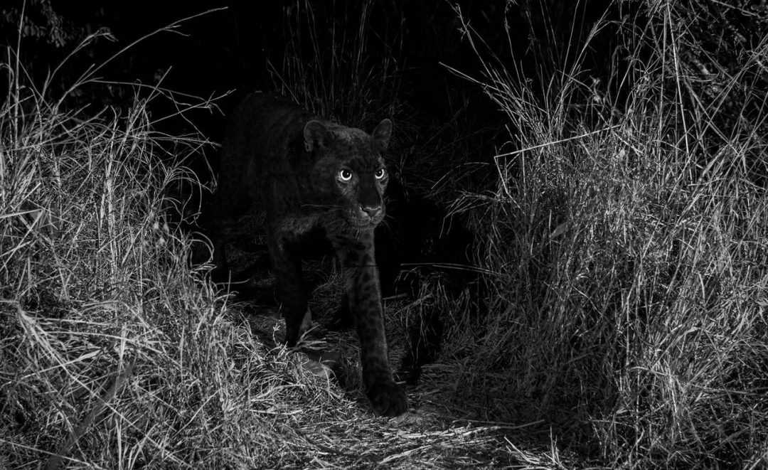 A black leopard (black panther) has been spotted for the first time in Kenya, Africa - Will Burrard-Lucas