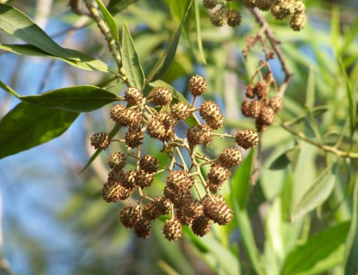 Conocarpus lancifolius, also known as the Damas has been banned in Qatar - Matthew Smith - Wikipedia
