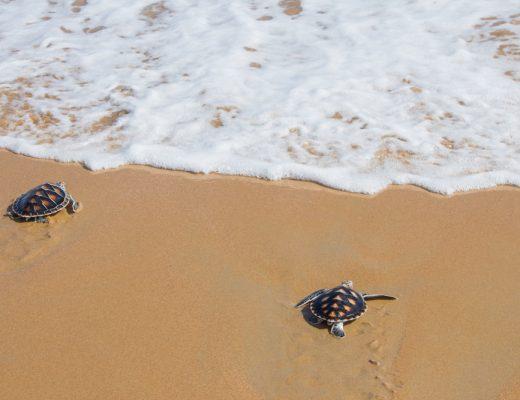 Hawksbill Turtles Begin Nesting Season