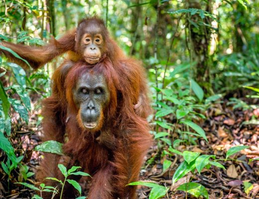 Orangutans have been observed using the Dracaena cantleyi medical plants to self-medicate