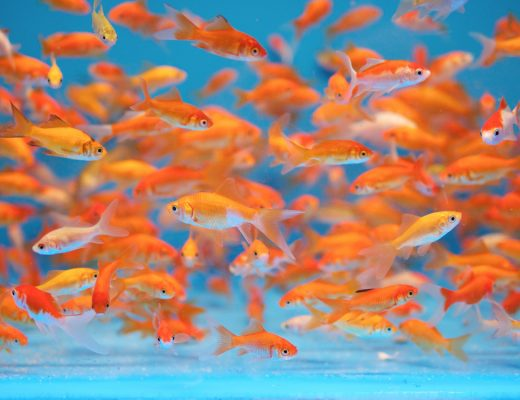 goldfish fish are in fact awesome pet if your take care of them correctly