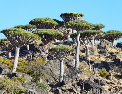 A community of the Dragon's blood tree, it is only found on the island of Socotra
