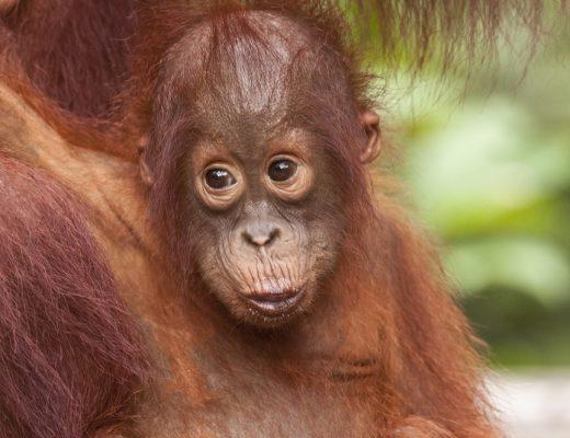 The Tapanuli Orangutan Great Ape is almost extinct