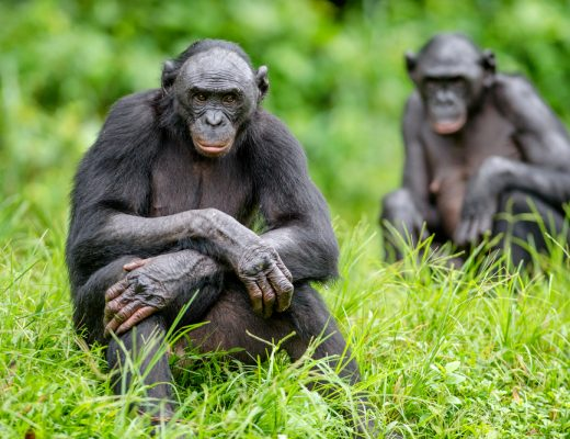 scientists have found a ghost species of chimpanzee discovered in bonobo dna