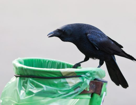 French Puy du Fou theme park has crows picking up litter and cigarette buds in exchange for a treat